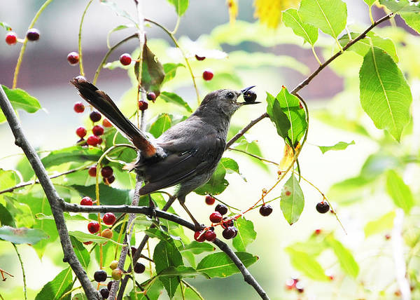 Catbird With Berry II Poster