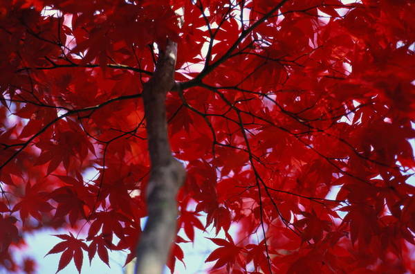 Close View Of Red Maple Leaves Poster