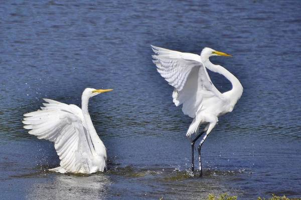 Common Egrets Poster