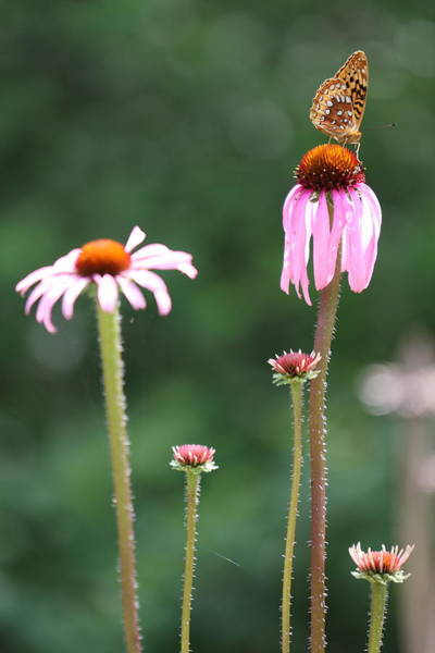 Coneflowers And Butterfly Poster