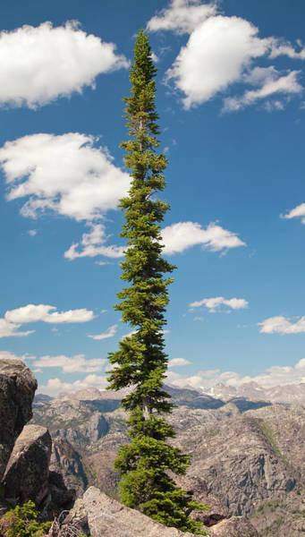 Wind River Conifer Tree  Poster