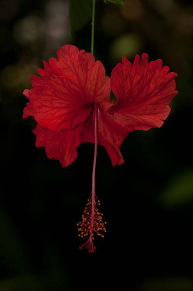 Coral Hibiscus Poster