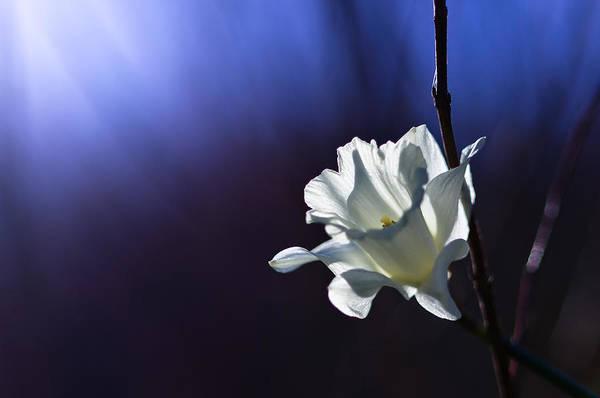 Daffodil Light Poster