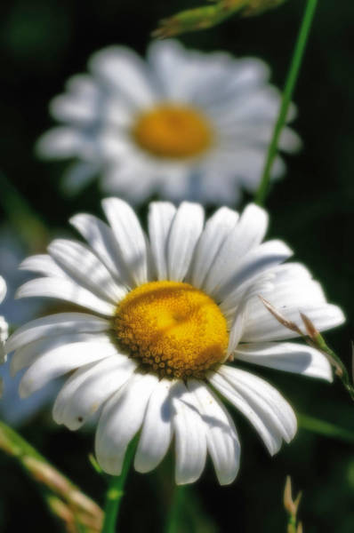 Daisies Aglow Poster