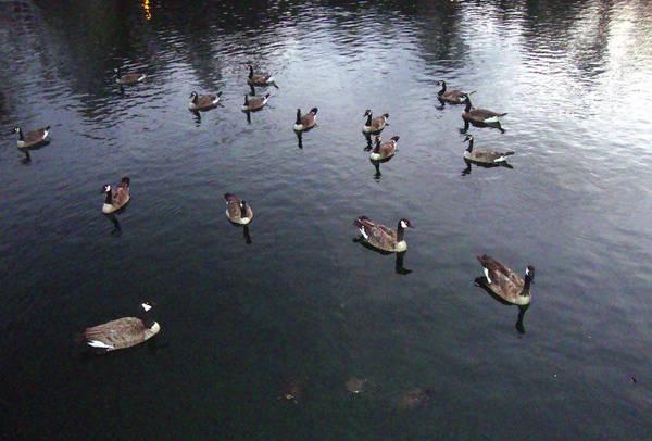 Ducks At Sunset Poster