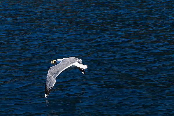 Elba Island - Flying For Food - Ph Enrico Pelos Poster
