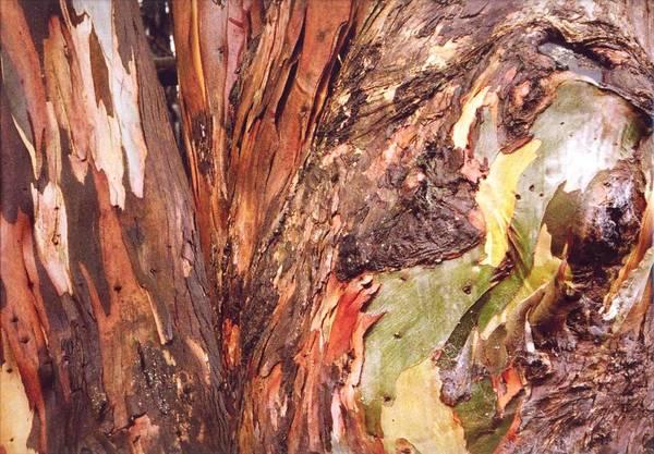 Eucalyptus Tree Poster