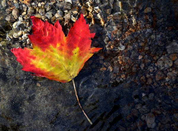 Fall Maple Leaf In Stream   Poster
