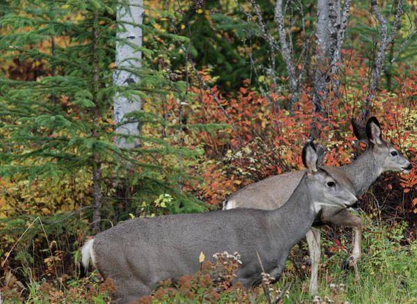 Fall Mule Deer Poster