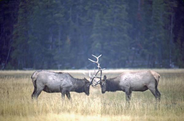 Fighting Elk Poster