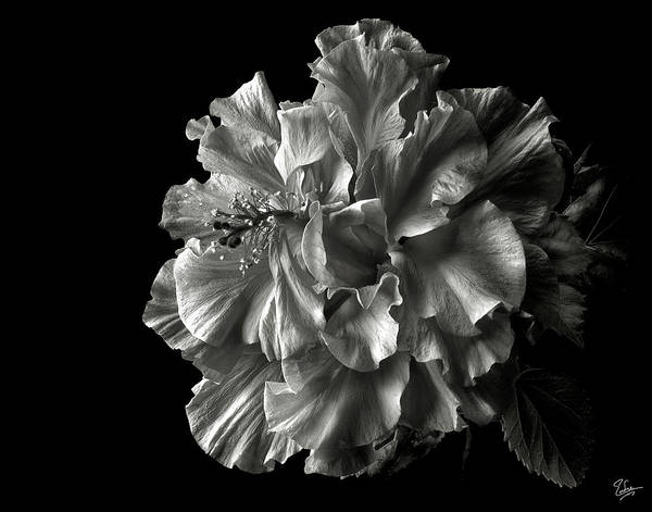 Fluffy Hibiscus In Black And White Poster