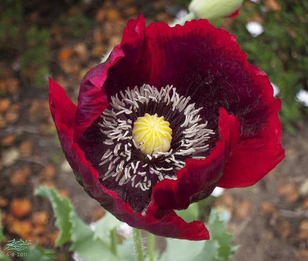 Garden Poppy Poster