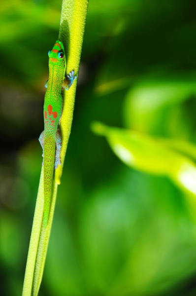 Gecko On A Stick Poster