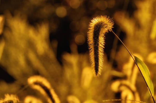 Grass In Golden Light Poster