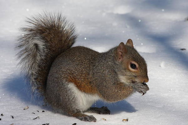 Gray Squirrel On Snow Poster