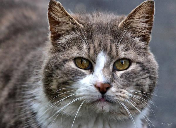 Gray Tabby Tux Cat Poster