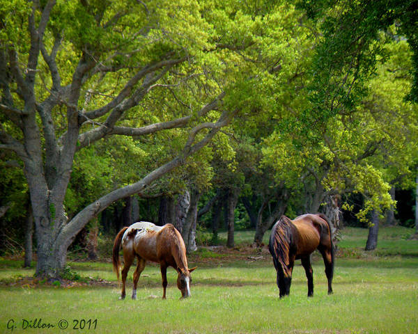 Grazing Pair Of Horses Poster