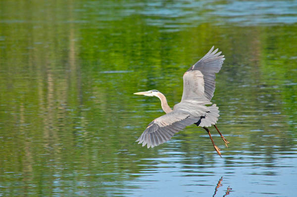 Great Blue Heron - Where To Now Poster