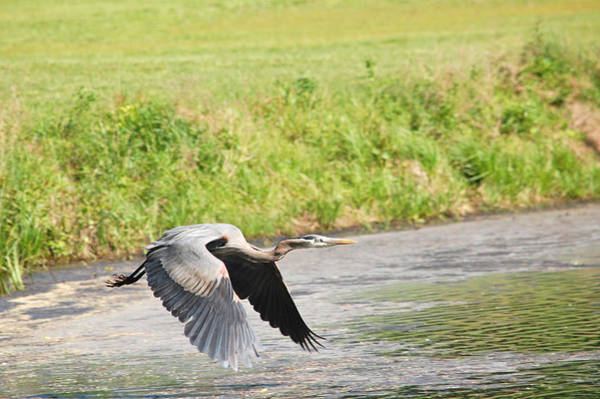 Great Blue Heron Begins Flight Poster