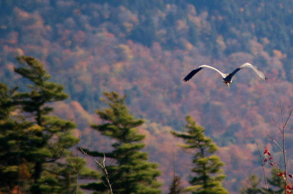 Great Blue Heron In Flight Poster