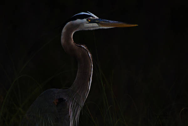 Great Blue Heron In The Sea Oats Poster
