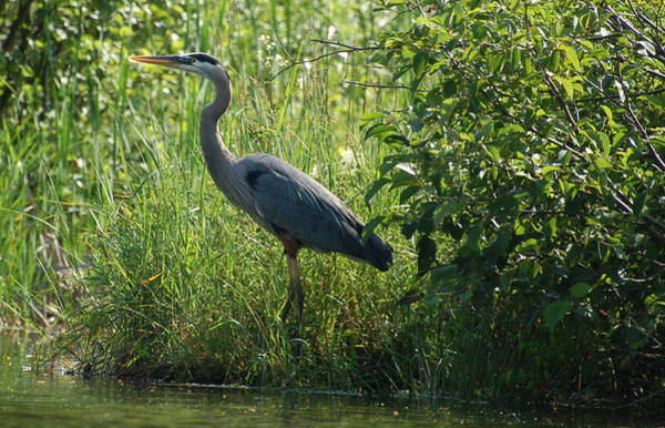 Great Blue Heron Waiting To Eat Poster