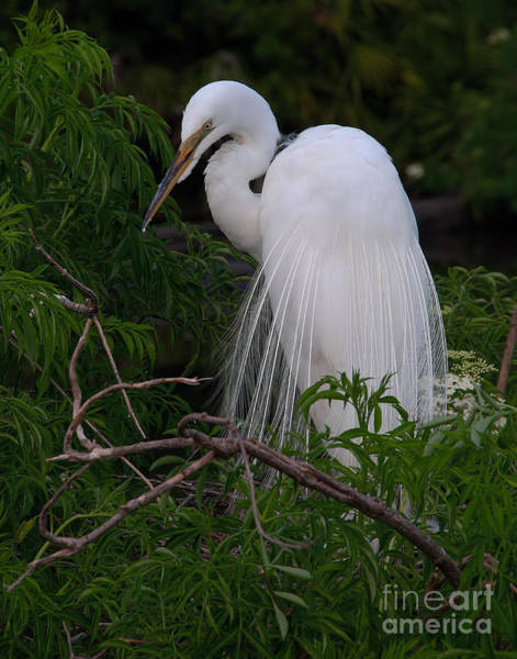 Great Egret Nesting Poster
