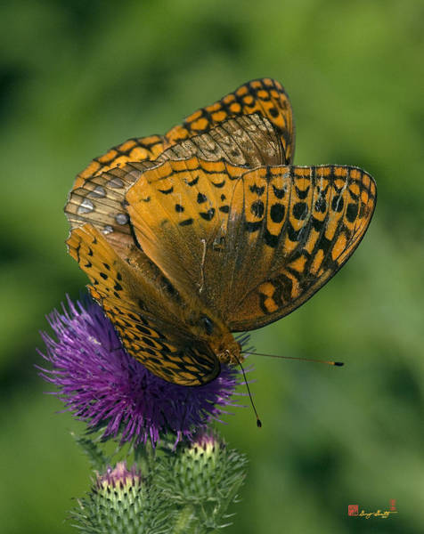 Great Spangled Fritillaries On Thistle Din108 Poster