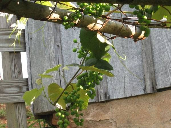 Green Grapes On Rusted Arbor Poster