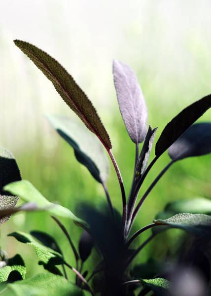 Herb Garden Purple Sage Poster