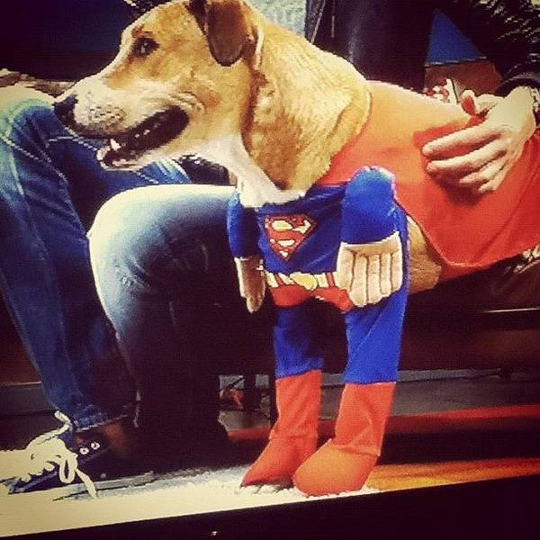 I Had To Take A #photo. #superman #dog Poster