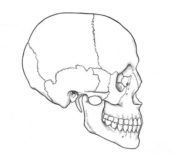 Human Skull Plates Diagram