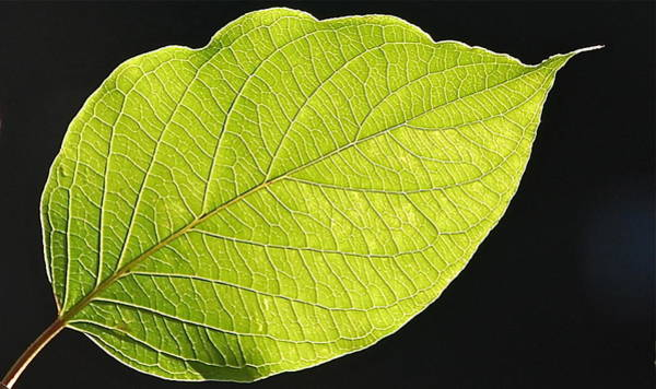 Intricacies Of A Leaf Poster