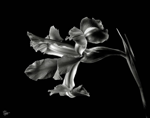 Iris In Black And White Poster