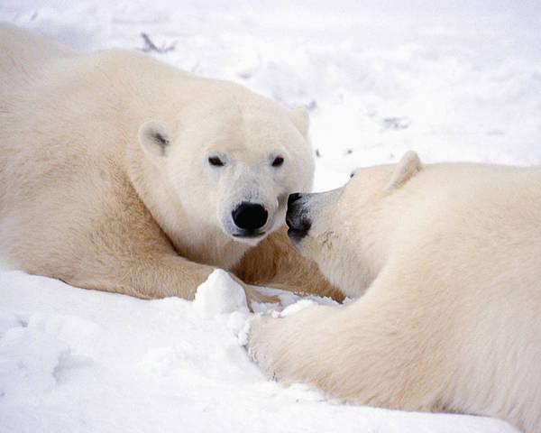 Kissing Bears Poster
