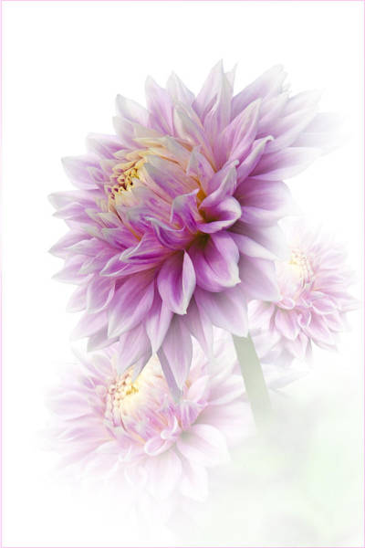 Lavender Dahlia Poster