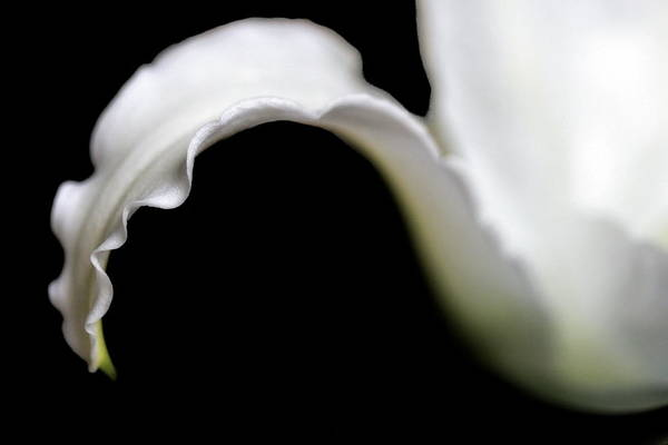Lily Petal From A Side View Poster
