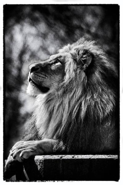 Lion Meditating Poster