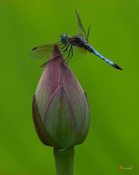 Lotus Bud And Blue Dasher Dragonfly Dl007 Poster