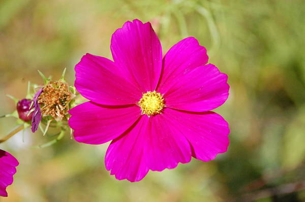 Magenta In Bloom Poster