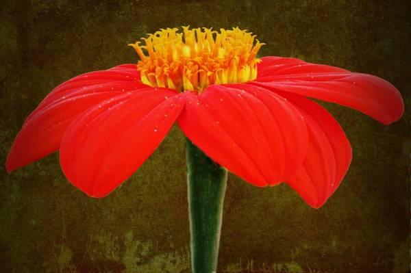 Magenta Zinnia Flower Poster