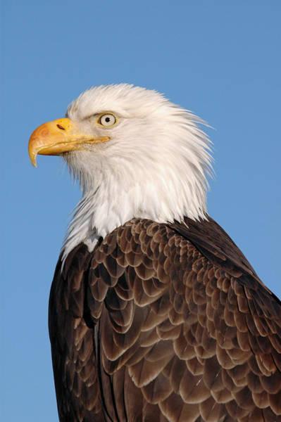 Majestic Eagle Poster