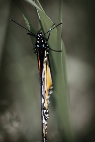 Monarch On A Blade Of Grass Poster