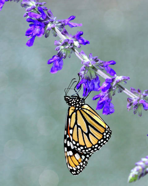 Monarch On Purple Poster