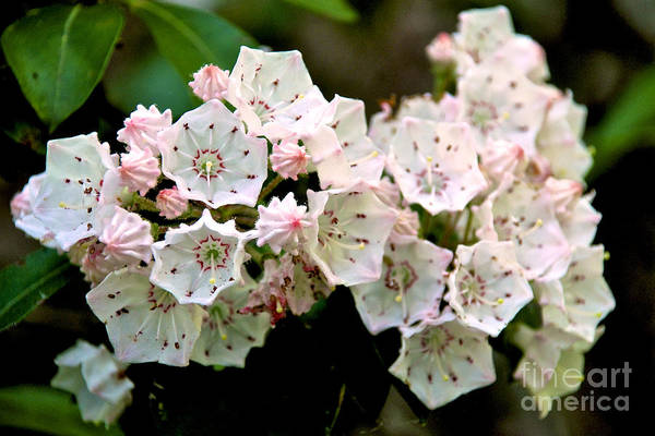 Mountain Laurel Flowers Poster