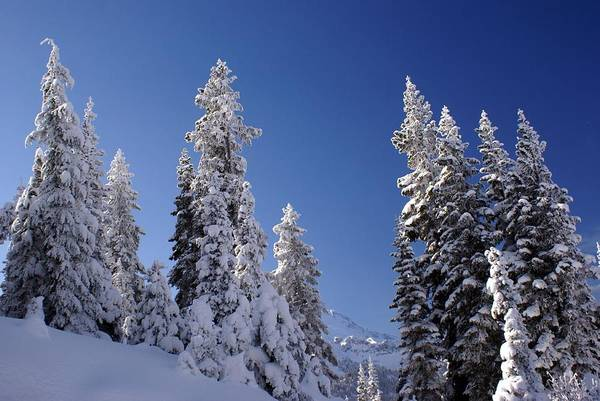 Mt. Rainier's Christmas Tree's Poster