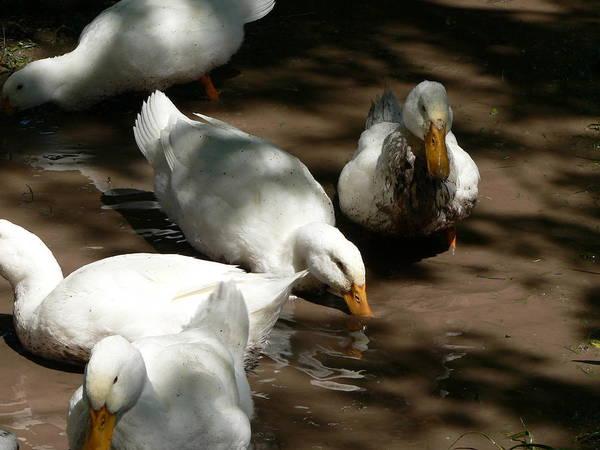 Muddy Ducks Poster