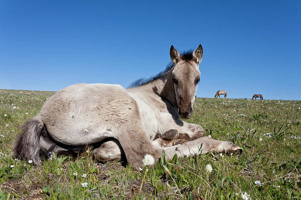 Mustang Foal Up Close Poster