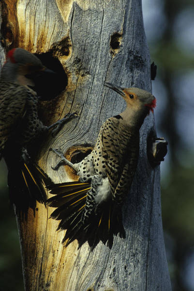 Northern Flickers Fight Over Nesting Poster