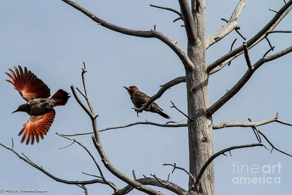 Northern Flickers Poster